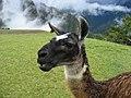 Llamas en Machu Picchu - 11.jpg