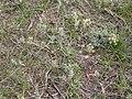 Lomatium macrocarpum (3521336981).jpg
