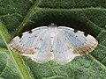 Lomographa bimaculata - White-pinion Spotted (40927404001).jpg