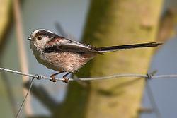 Long-tailed Tit Aegithalos caudatus.jpg