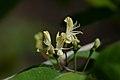 Lonicera xylosteum (6957263676).jpg