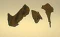 Lophopsittacus mauritianus - mandible fragments.jpg