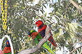 Lorikeets -Aquarium of the Pacific -6a.jpg