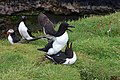 Lunga Treshnish Isles Alca torda 5.jpg