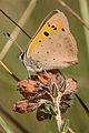 Lycaena phlaeas, Small Copper, North Wales, August 2012 (21775678742).jpg
