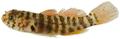 Lythrypnus nesiotes - pone.0010676.g175.png