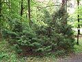 MOs810 WG 29 2017 Opolskie Zakamarki (in Arboretum Lipno) (Juniperus chinesis).jpg