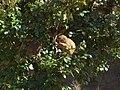 Macaca fuscata, eating, Iwatayama, 20090215.jpg