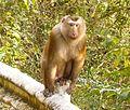 Macaca leonina at Khao Yai NP.JPG