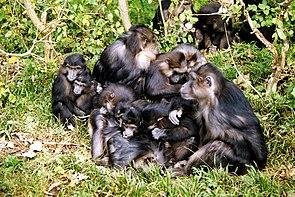 Gruppe von Tonkean-Makaken