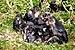 75px macaca tonkeana groupe