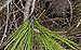 Machimus rusticus, Sète 08.jpg