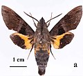 Macroglossum eitschbergeri holotype, male, upperside. Philippines, Negros, Mt Canlaon.jpg