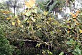 Magnolia grandiflora 48zz.jpg