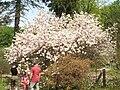 Magnolia x soulangeana 1 (Piotr Kuczynski).jpg
