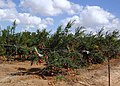 Magshimim Pomegranate's Orchard.jpg