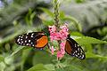 Mainau - Schmetterlingshaus - Schmetterlinge 005.jpg