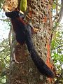 Malabar Giant Squirrel eating its favourite Jackfruit.jpg