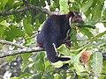Malabar Giant squirrel2.jpg