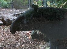 Un tapiro di Baird