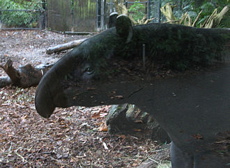 Nose - The nose of a tapir.
