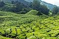 Malaysia - Cameron Highlands (26159390456).jpg