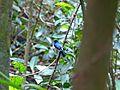 Malaysian Blue Flycatcher (Cyornis turcosus) (8077283795).jpg