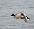 Mallard in flight (6920786143).jpg