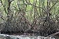 Malpighiales - Rhizophora mangle - 29.jpg