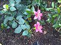 Malvales - Hibiscus fragilis 4.jpg