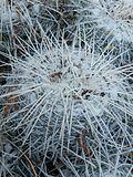 Mammillaria parkinsonii (5780071501).jpg