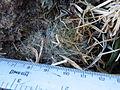 Mammillaria sinistrohamata (5726001460).jpg