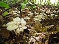 Marasmius wynneae Berk. & Broome 514401 2012-10-07.jpg