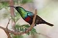 Marico sunbird, Cinnyris mariquensis (male) at Marakele National Park, Limpopo, South Africa (16275213906).jpg