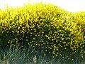 Massif de genêts (Spartieum junceum).jpg