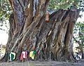 Massive Tree Trunk (8397459650).jpg
