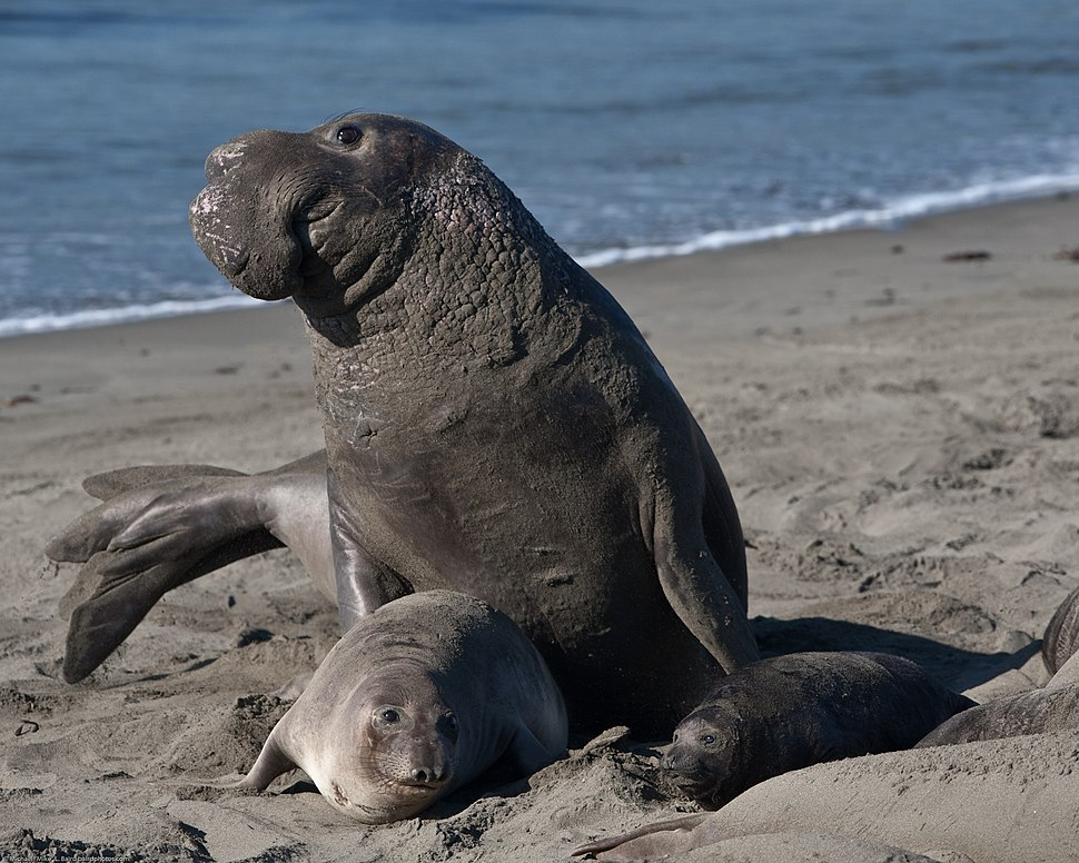 Mating scene with elevated Alpha Male. Elephant Seals of Piedras Blancas