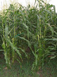 Sweet Corn Wikipedia