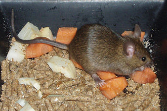 House mouse - Feeding