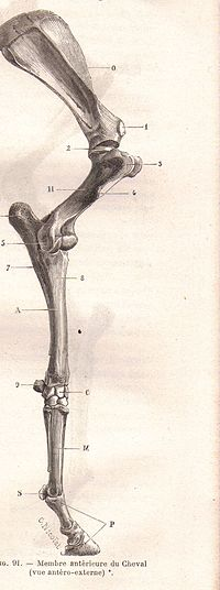 skeletal system of the horse wikipedia