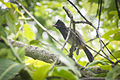 Me in the Monday Monrning (Red-vented Bulbul (juvenile) (Pycnonotus cafer)) (7472714594).jpg