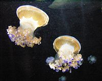 Mediterranean Jellyfish 1.jpg