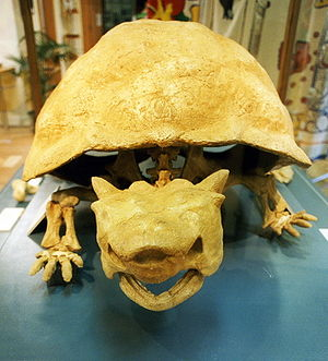 Meiolania - Front view of M. platyceps fossil, Lord Howe Island museum