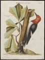 Melanerpes erythrocephalus - 1700-1880 - Print - Iconographia Zoologica - Special Collections University of Amsterdam - UBA01 IZ18700399.tif