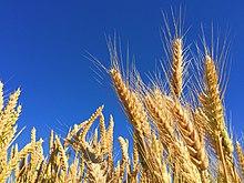 Wheat - Wikipedia