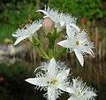 Menyanthes trifoliata inflorescence.jpg