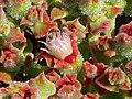 Mesembryanthemum crystallinum Flores 2013-5-02 LagunadelaMata.jpg