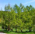 Metasequoia glyptostroboides (arboretum de l'Aubonne).JPG