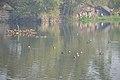 Migratory Birds - Santragachi Jheel - Howrah 2017-12-25 5649.JPG