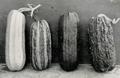 Millán 1943 Variabilidad en el zapallo de Angola (1).png